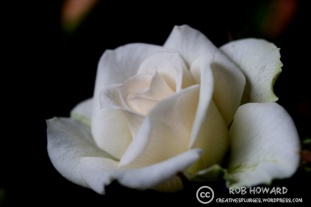 There was also a white rose. | 1/400sec, f/4, ISO 1250, 100mm