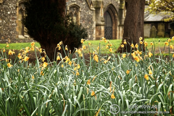 dying daffodils in church grounds
