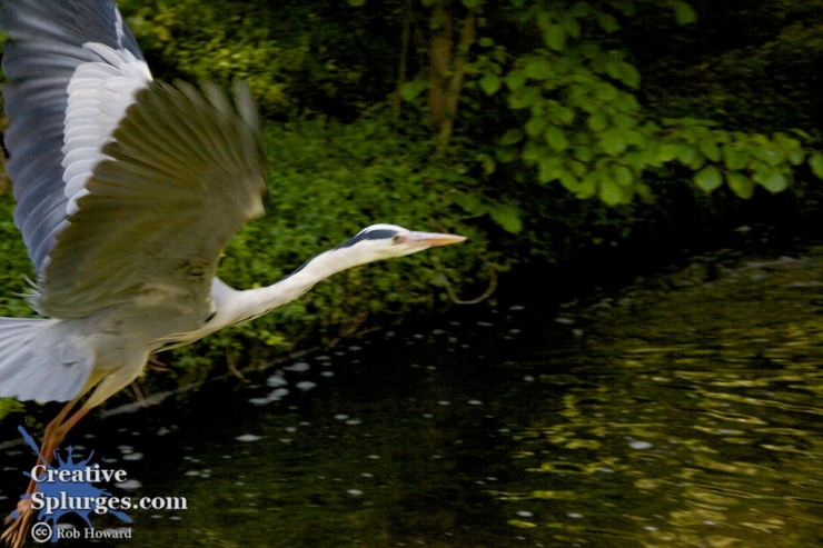 fleeing heron